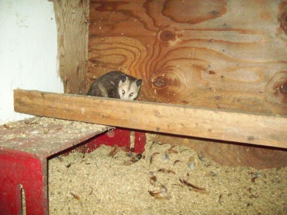 Possum in the chicken coop!