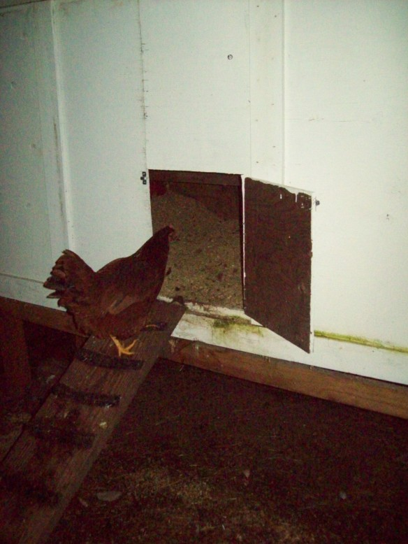 The chickens can safely return home after my wife handled the problem