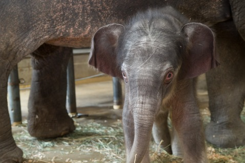 Oregon Zoo: Elephant Calf, http://www.oregonzoo.org/sites/default/files/H_babyelephantears.jpg